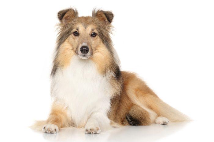 Le berger shetland parmi les chiens les plus populaires.