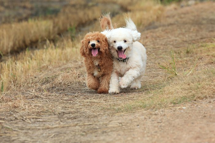 Le caniche parmi les chiens les plus populaires.