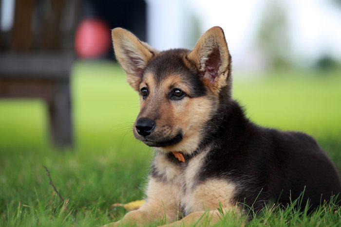 Le berger allemand parmi les chiens les plus populaires au Canada.