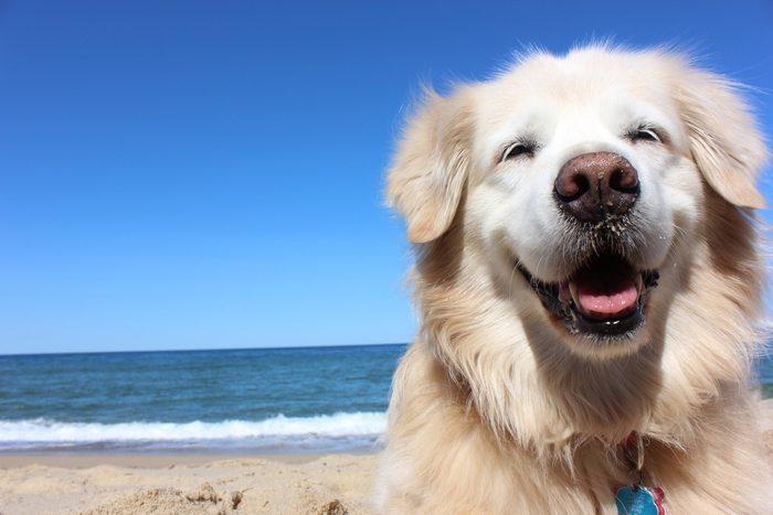 Autre chien très populaire: les golden retrievers.