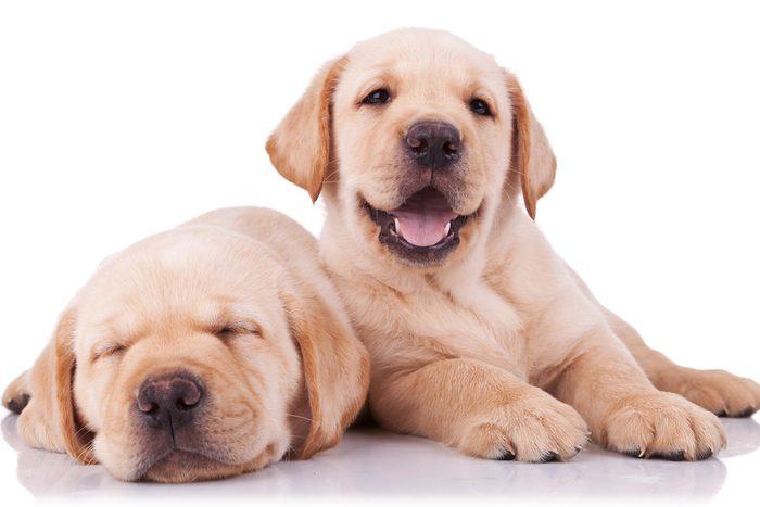 Parmi les chiens les plus populaires, le labrador retriever.