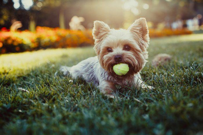 Yorkshire terrier, une race de chiens parmi les plus populaires.