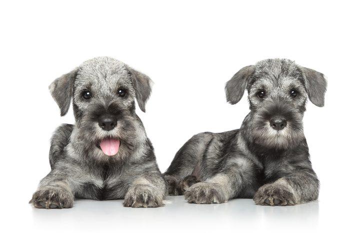 Schnauzer miniature: parmi les chiens les plus populaires.