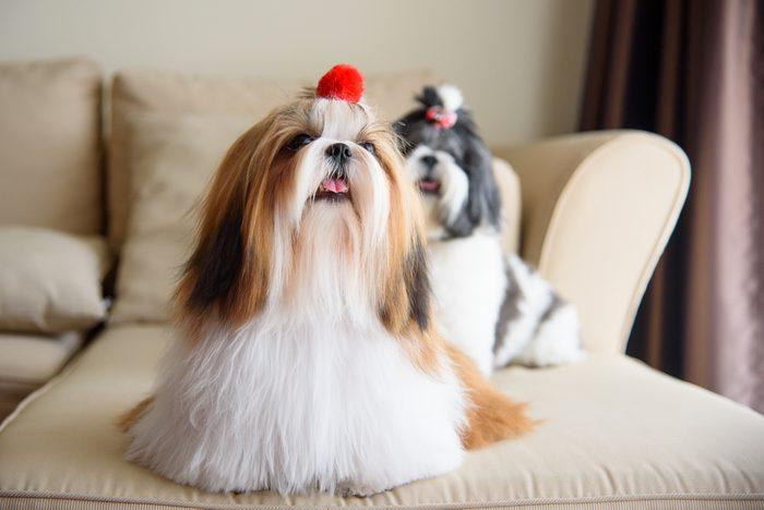 Le shih tzu parmi les chiens les plus populaires.