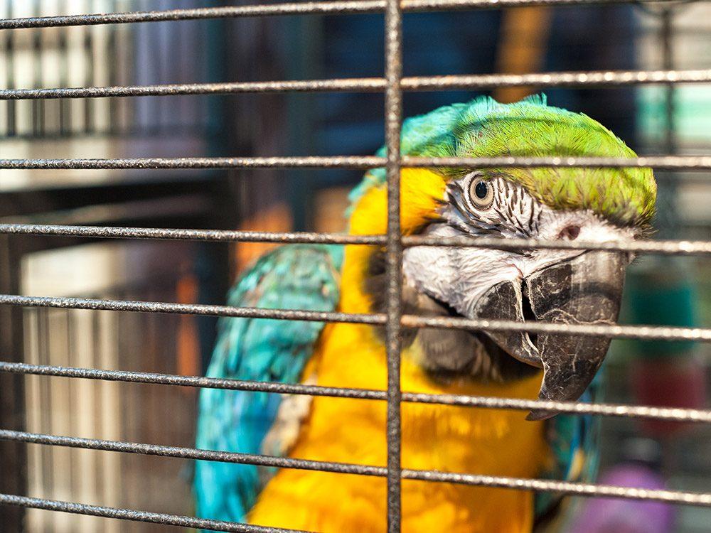 Blague sur les animaux de compagnie: le perroquet insolent.