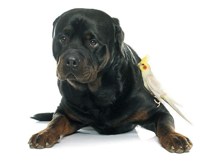 Blague sur les animaux de compagnie: le rottweiler et le perroquet.