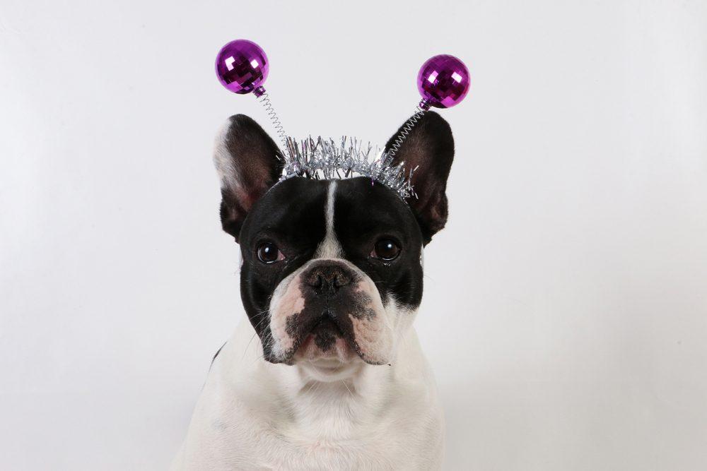 Chien déguisé en princesse pour l'halloween.