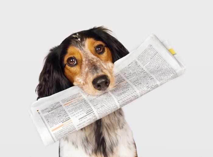 Ce chien intelligent apporte le journal à son maître.