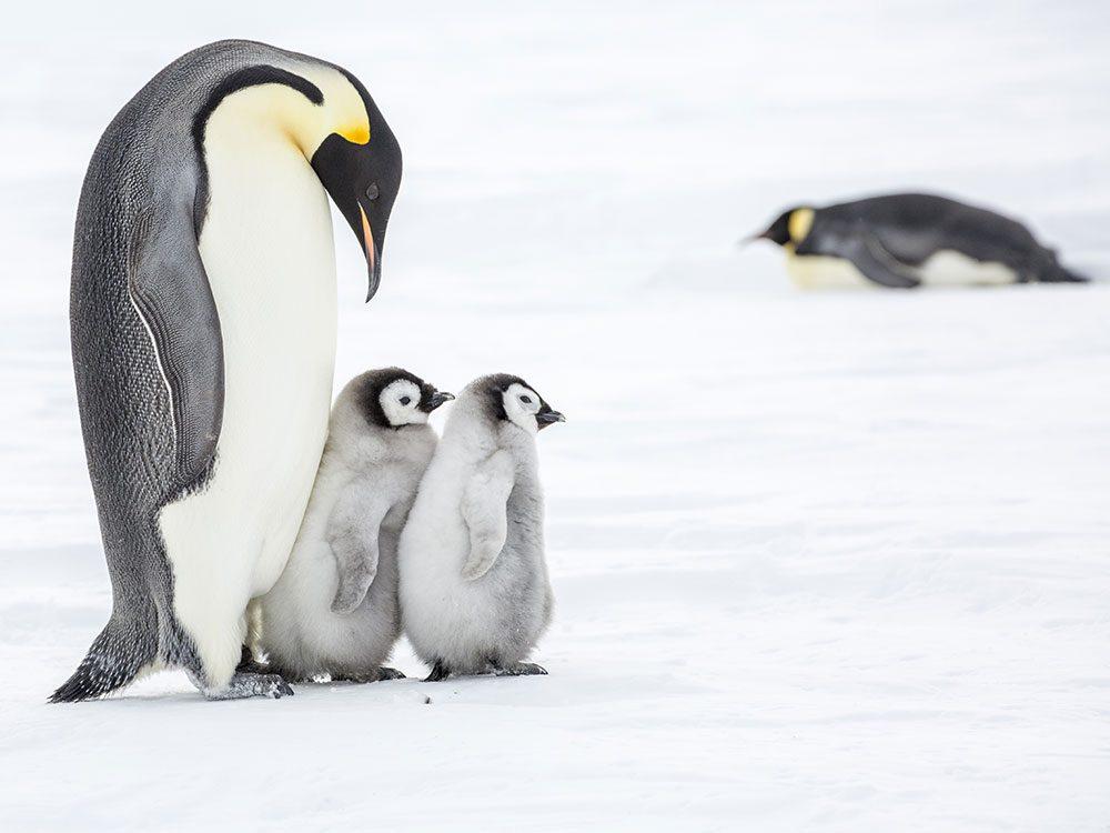 Ces pères dévoués du royaume animal.