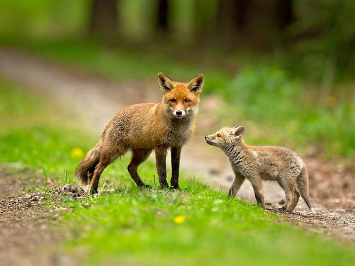 Aucun papa n'aime plus s'amuser que le renard roux.