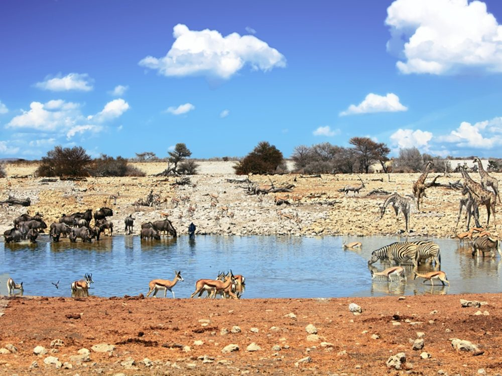 Le parc national d'Etosha est la plus spectaculaire de ces réserves animalières.