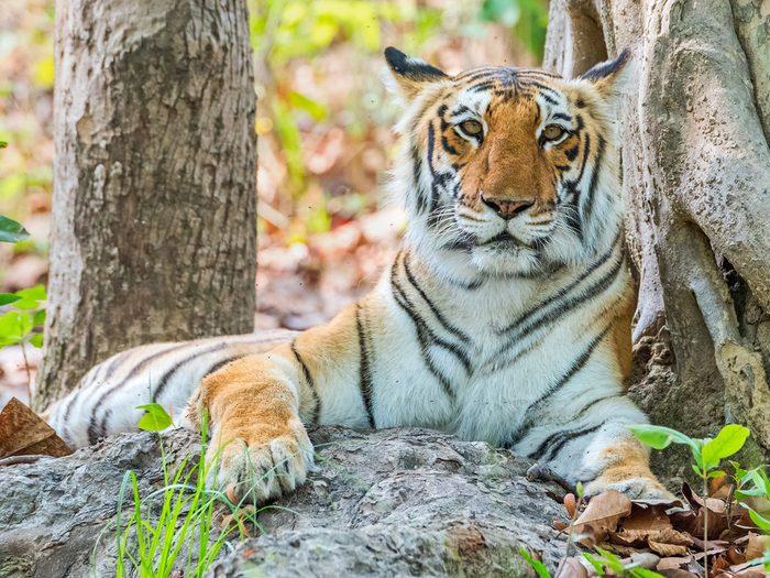 Les visiteurs peuvent passer la nuit dans la forêt et avec un bon guide: ils auront d'excellentes chances de voir un tigre.