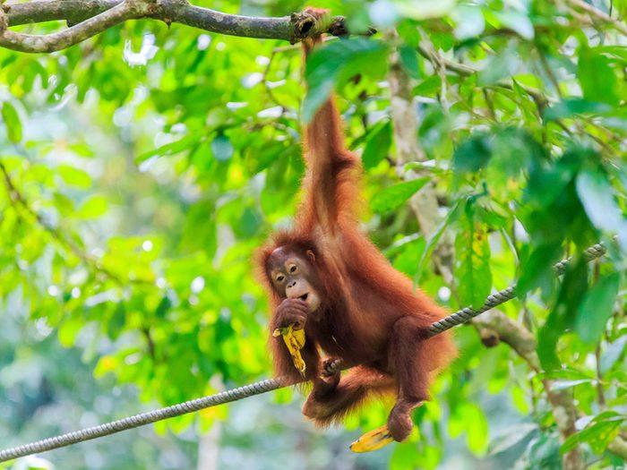 Bornéo fait partie de la péninsule de Malay et se divise entre la Malaisie, l'Indonésie et le petit Brunei.