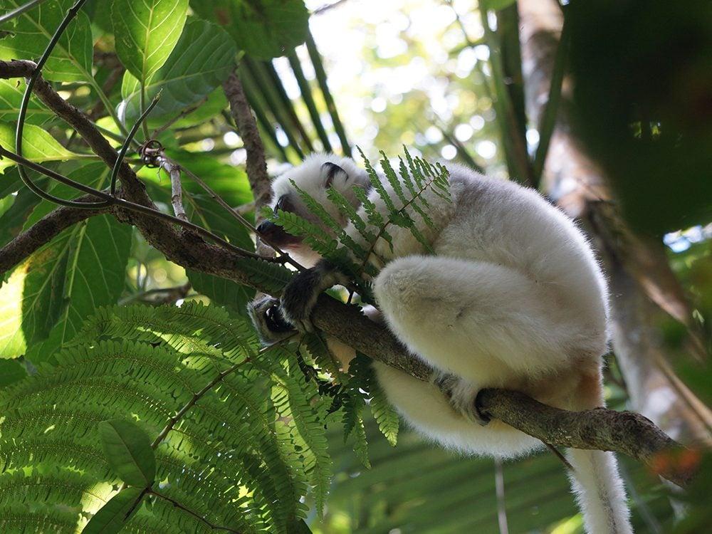 Dans les parcs de la forêts tropicales d'Atsinanana à Madagascar, vous pouvez voir jusqu'à dix différents types de lémuriens.