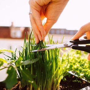 La ciboulette fait partie des fines herbes indispensables à avoir dans le jardin.