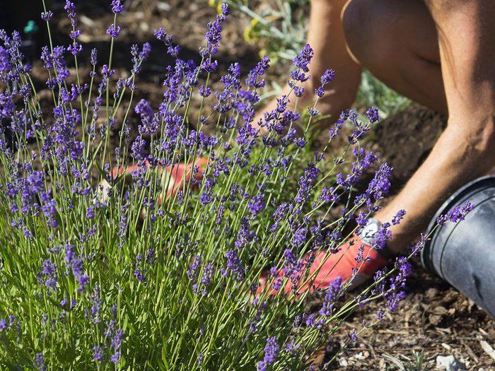 La lavande fait partie des fines herbes indispensables à avoir dans le jardin.