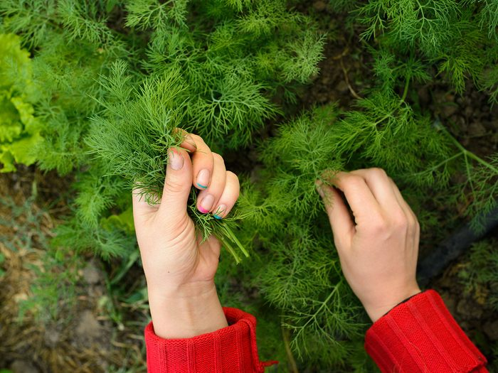 L'aneth fait partie des fines herbes indispensables à avoir dans le jardin.