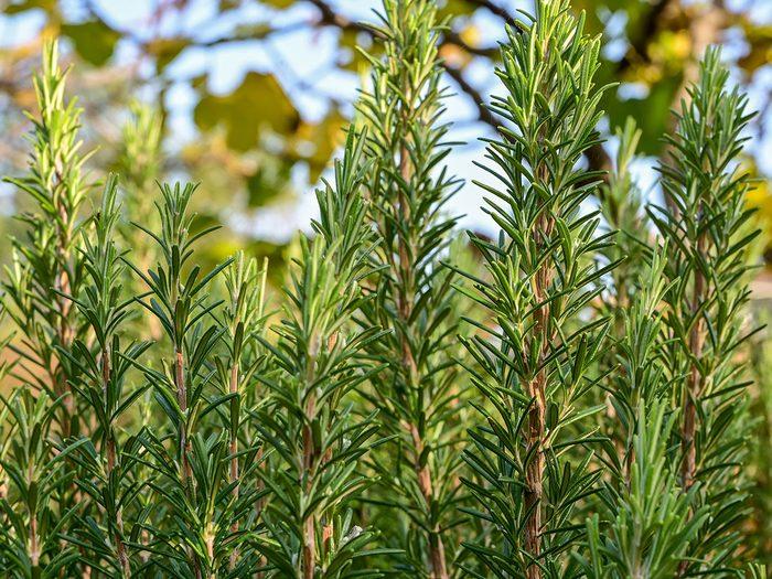 Le romarin fait partie des fines herbes indispensables à avoir dans le jardin.