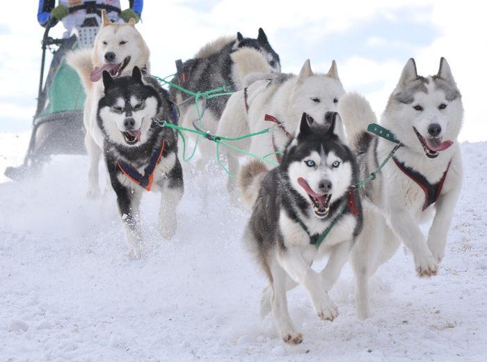 Course de huskies en Alaska.