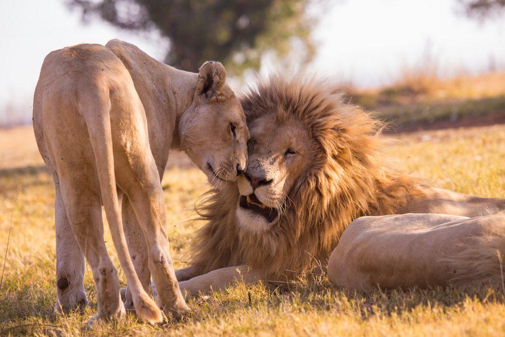 Safari en Tanzanie.