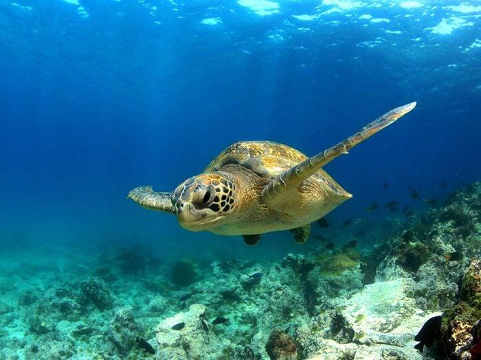 Royaume animal: partez à la rencontre des tortues de mer.
