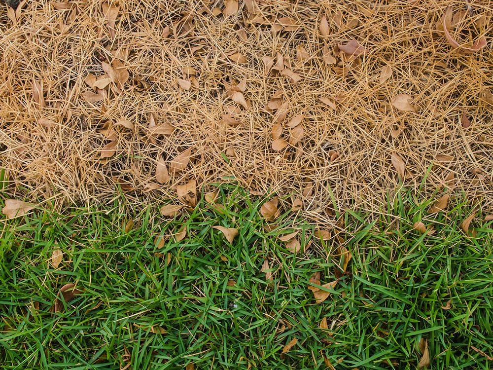 Une pelouse peut devenir brune.