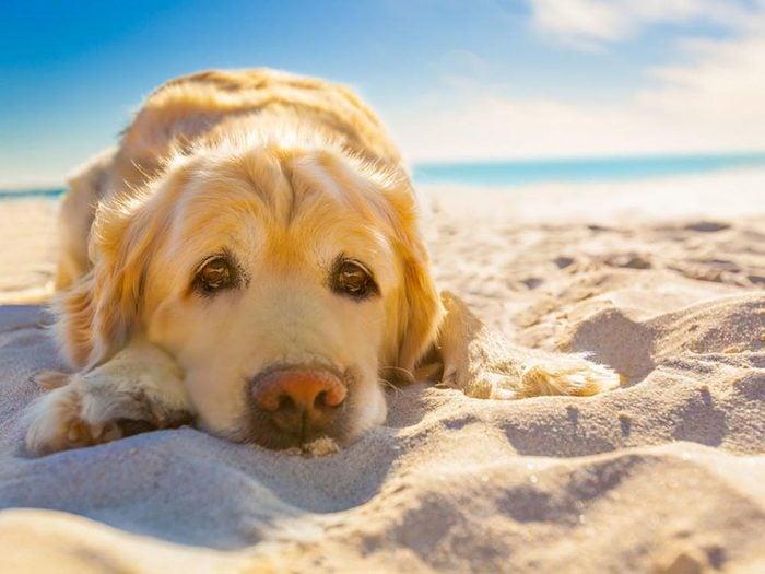Pour la sécurité de votre chien: sachez reconnaitre les symptômes des coups de chaleur.