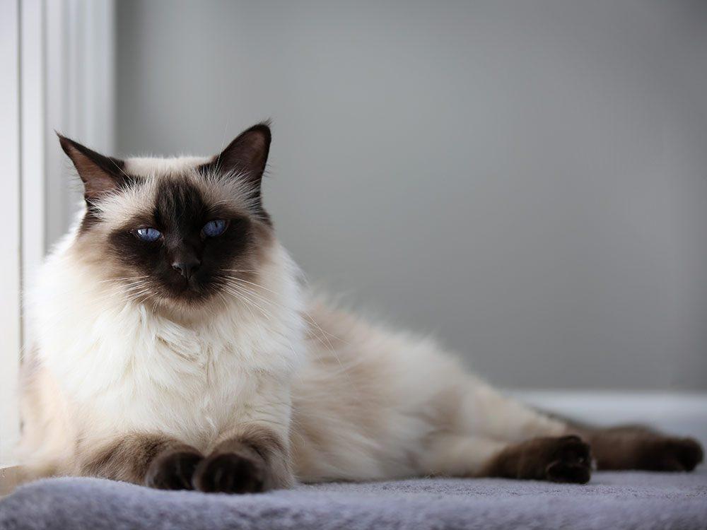 race de chat: le balinais est un des meilleurs chats pour vous et votre famille.