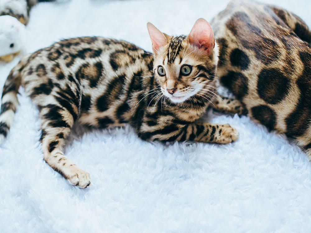 Race de chat: le bengal est un croisement entre un chat et un léopard.