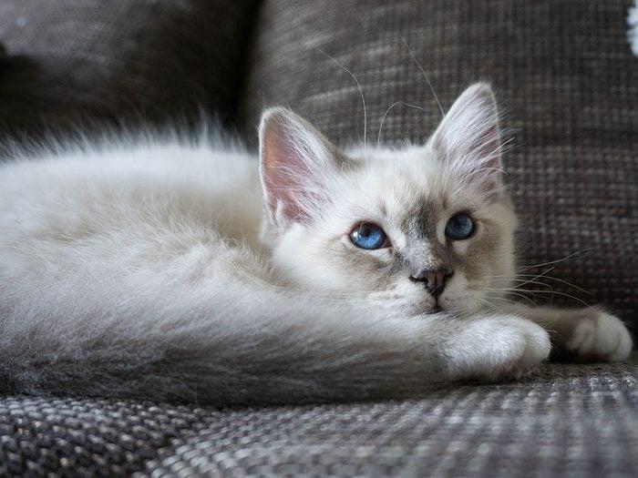 race de chat: le birman présente une personnalité méditative et pacifique.