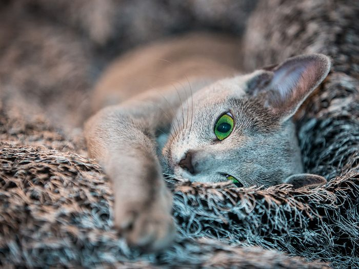 Race de chat: le Bleu russe a une robe épaisse et soyeuse qu'on a plaisir à caresser.