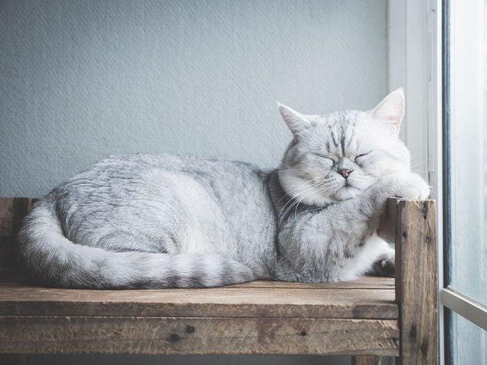 Race de chat: le Britannique à poils courts est très répandu dans diverses couleurs.