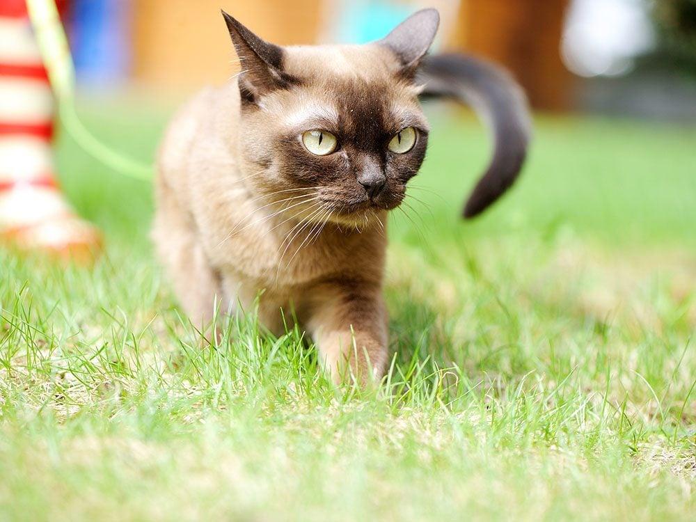Race de chat: le Burmese est doté d'une longue espérance de vie.
