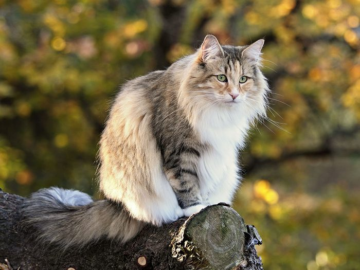 La race de chat des forêt norvégiennes un bon choix pour la famille avec un jardin.