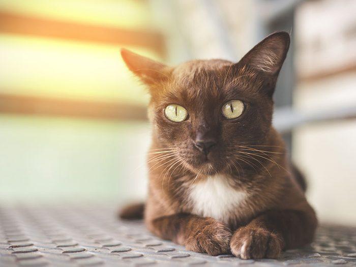 Race de chat: le Korat est populaire pour sa beauté et son caractère affectueux.