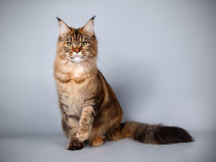 race de chat: le maine coon est un chat de plein air affectueux.