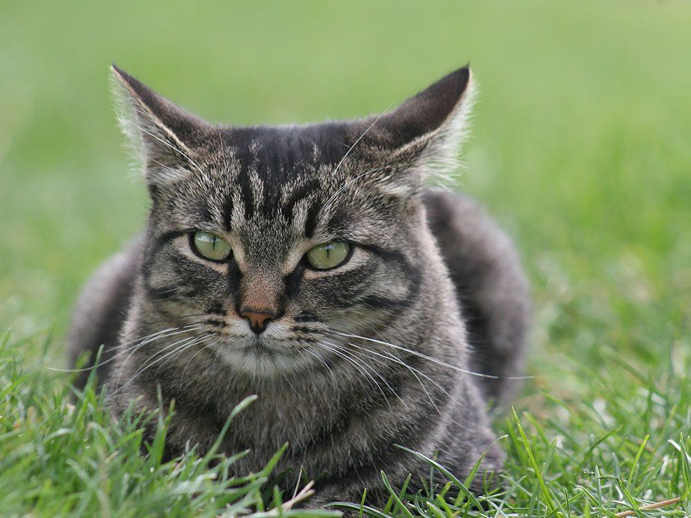 Race de chat: le Manx est un chat de bonne nature.