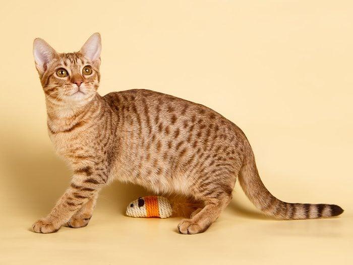 """Race de chat: l'Ocicat est décrit comme un """"chat-chien""""."""