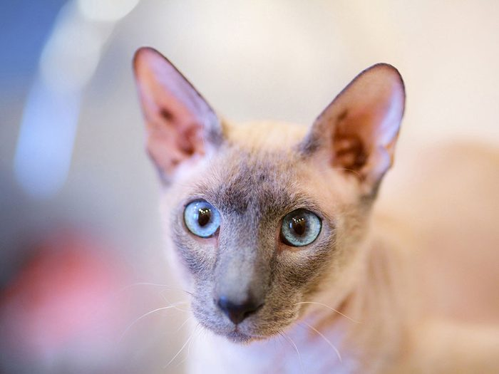 Race de chat: l'Oriental à poils courts est très miauleur et réclame beaucoup d'attention.