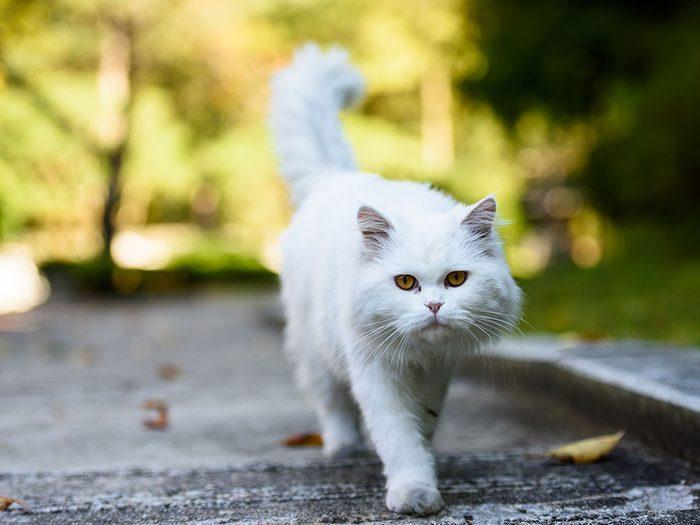 Race de chat: le Persan à poils longs est populaire pour son caractère doux et effectueux.