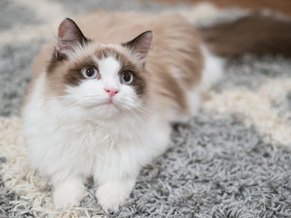 Race de chat: le Ragdoll est docile et demande peu d'espace.