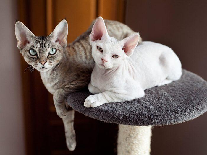 Race de chat: les Rex Cornish et Rex Devon ont d'énormes oreilles et une fourrure fine et ondulée.
