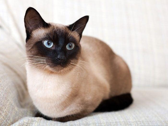 Race de chat: le siamois est devenu l'un des chats de race les plus populaires au monde.