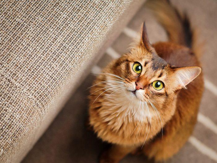 Race de chat: le Somali a les poils mi-longs.