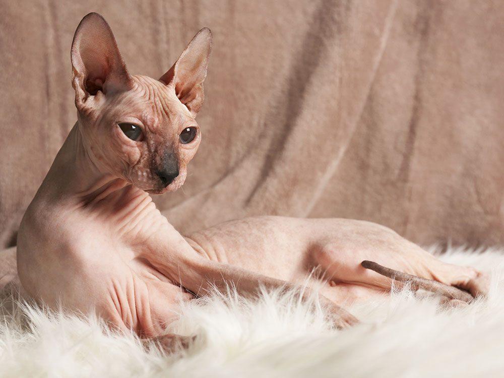 Race de chat: le Sphynx présente une fourrure si fine qu'on le dirait dépourvu de poil.