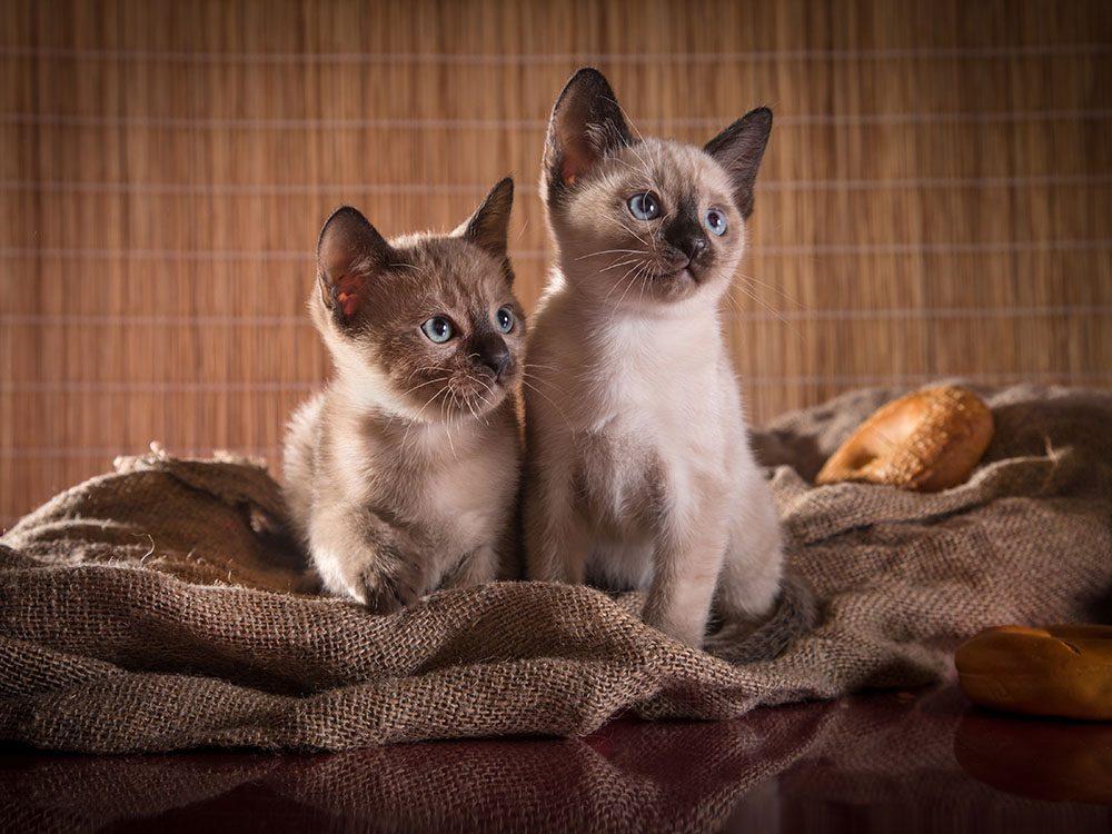 Race de chat: le Tonkinois est le fruit d'un croisement entre un siamois et un burmese.
