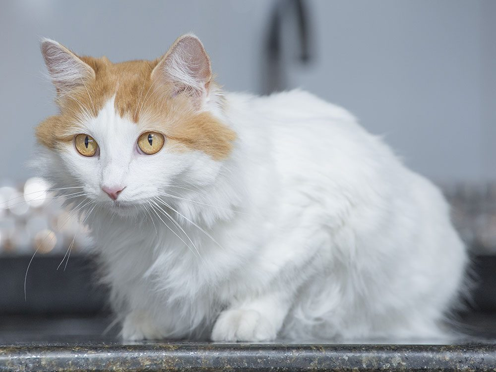 Race de chat: le Turc De Van adore se baigner
