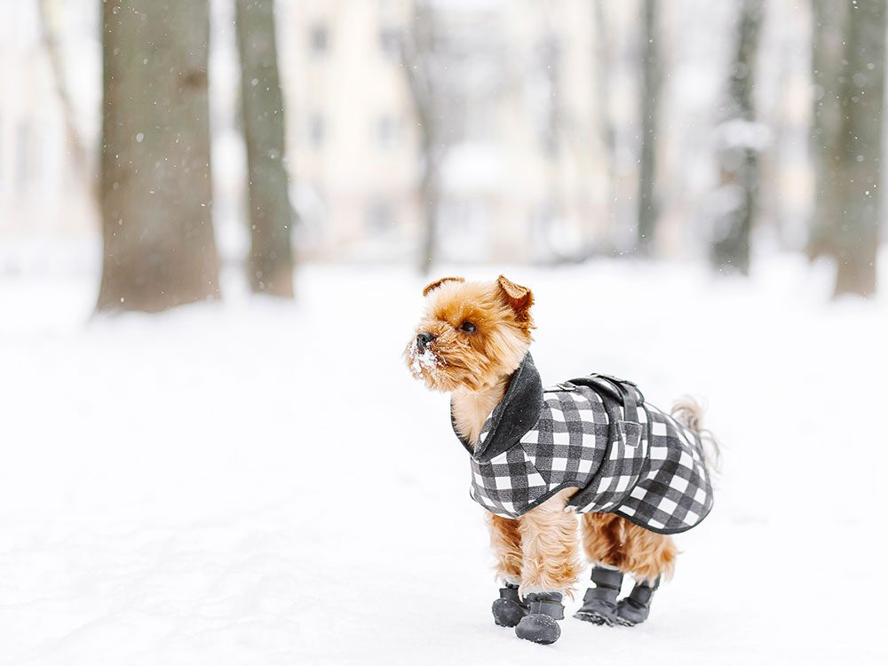 Pour sa sécurité, envisagez de chausser votre animal en hiver.