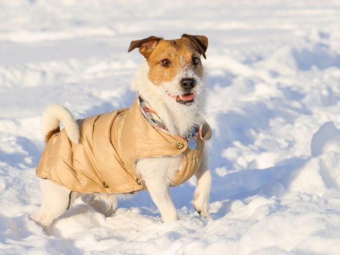 Pour la sécurité de votre animal en hiver, en manteau peut être utile.