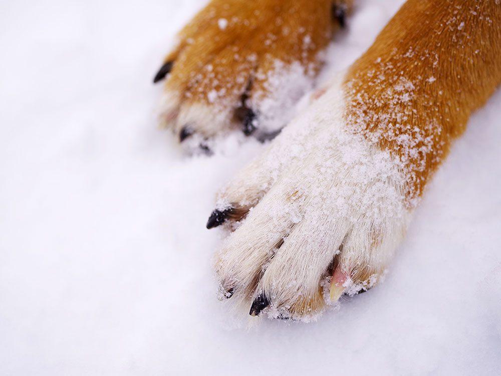 Pour leur sécurité, prenez soin des pattes de votre animal en hiver.